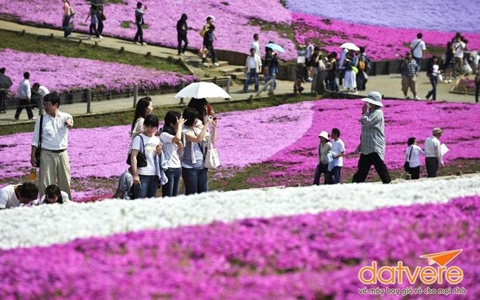 Lễ hội hoa Fuji Shibazakura
